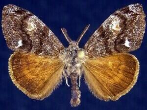 http://mothphotographersgroup.msstate.edu/species.php?hodges=8312