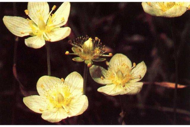 http://plants.usda.gov/java/largeImage?imageID=papa8_002_ahp.tif