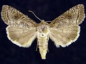 http://mothphotographersgroup.msstate.edu/species.php?hodges=10307