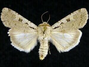 http://mothphotographersgroup.msstate.edu/species.php?hodges=10723