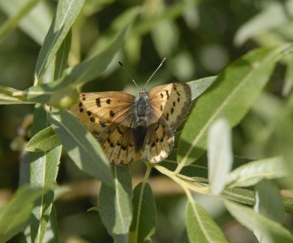 http://animaldiversity.ummz.umich.edu/site/resources/phil_myers/lepidoptera/Lycaenidae/Lycaena_helloides0011.jpg/medium.jpg