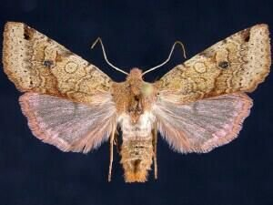 http://mothphotographersgroup.msstate.edu/species.php?hodges=9954