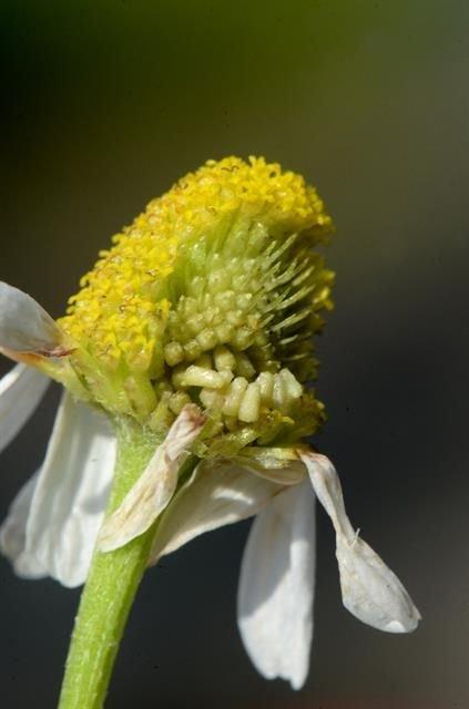 http://www.biopix.com/stinking-chamomile-anthemis-cotula_photo-106628.aspx