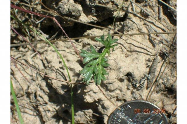 http://plants.usda.gov/gallery/large/cyacg_008_lhp.jpg