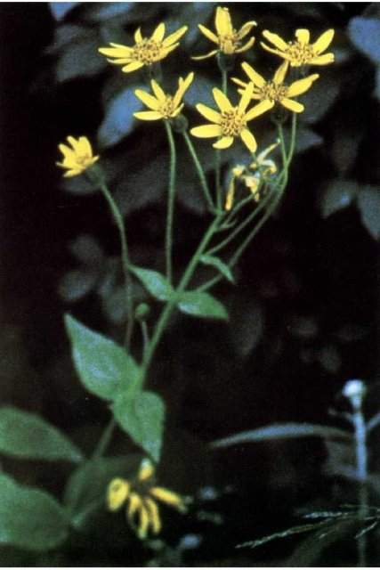 http://plants.usda.gov/java/largeImage?imageID=ardi7_001_avp.tif