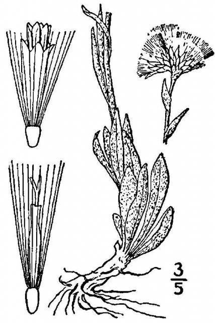 http://plants.usda.gov/java/largeImage?imageID=ancal_001_avd.tif