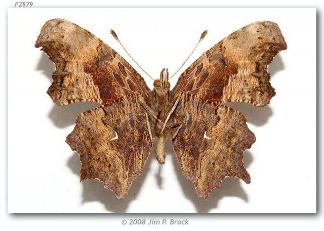 http://butterfliesofamerica.com/images/Nymphalidae/Nymphalinae/Polygonia_o_oreas/26_Polygonia_o_oreas_M_nr_Carmel_Monterey_Co_CA_USA_02-VII-67_2.jpg