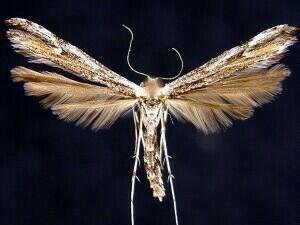 http://mothphotographersgroup.msstate.edu/species.php?hodges=6171
