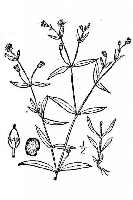http://plants.usda.gov/java/largeImage?imageID=albo3_001_avd.tif
