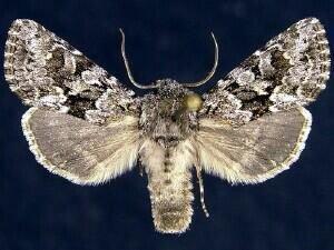 http://mothphotographersgroup.msstate.edu/species.php?hodges=10324