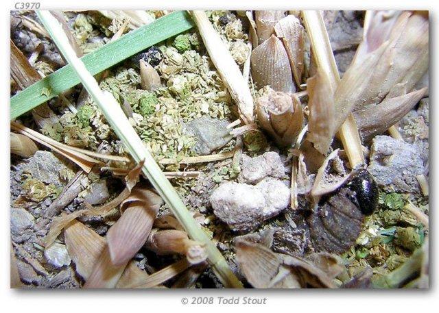 http://butterfliesofamerica.com/images/Hesperiidae/Hesperiinae/Polites_sabuleti_alkaliensis/Polites_sabuleti_alkaliensis_5th_instar_building_subnest_1.jpg