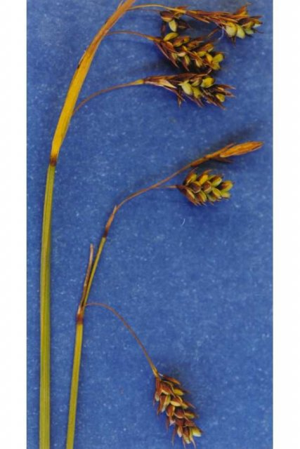 http://plants.usda.gov/java/largeImage?imageID=capa22_002_avp.tif