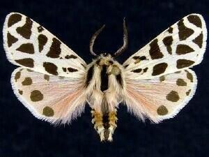 http://mothphotographersgroup.msstate.edu/species.php?hodges=8179