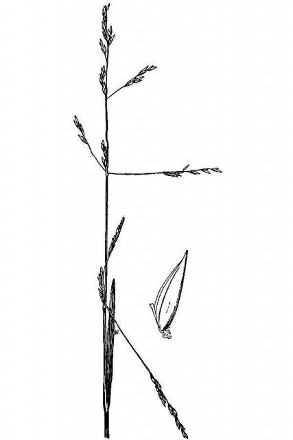 http://plants.usda.gov/java/largeImage?imageID=pobo_001_avd.tif