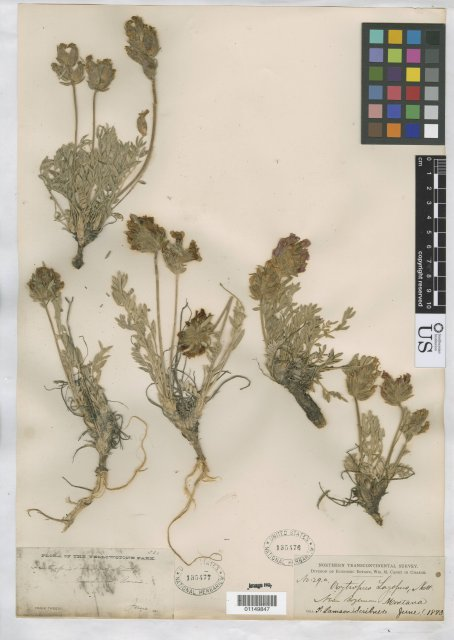 http://collections.mnh.si.edu/search/botany/?irn=10819398