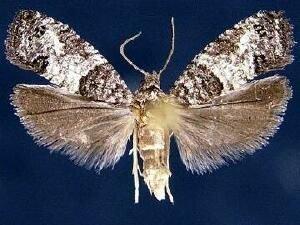 http://mothphotographersgroup.msstate.edu/species.php?hodges=2906