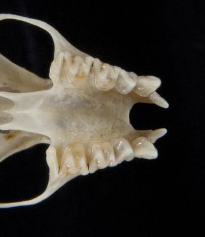 http://animaldiversity.ummz.umich.edu/site/resources/phil_myers/ADW_mammals/specimens/Chiroptera/Vespertilionidae/Antrozous_pallidus/utr5360.jpg/medium.jpg
