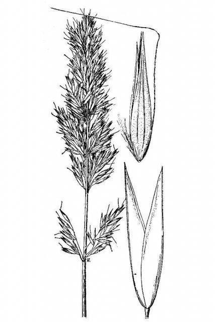 http://plants.usda.gov/java/largeImage?imageID=catw_001_avd.tif