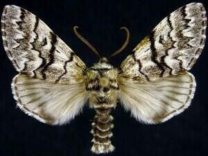 http://mothphotographersgroup.msstate.edu/species.php?hodges=9178