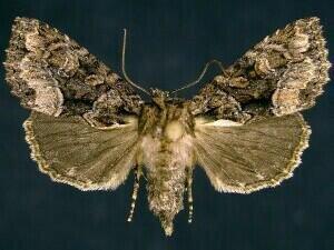 http://mothphotographersgroup.msstate.edu/species.php?hodges=9419
