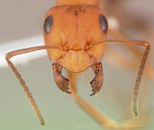 http://www.antweb.org/description.do?genus=formica&name=integroides&rank=species