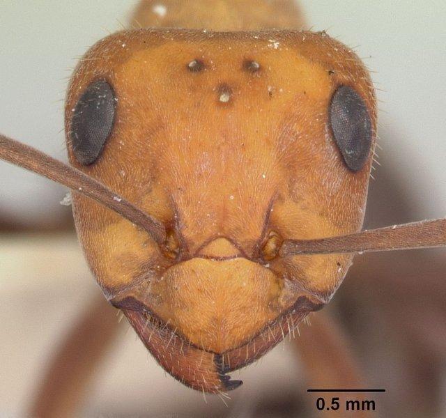 http://www.antweb.org/description.do?genus=formica&name=planipilis&rank=species