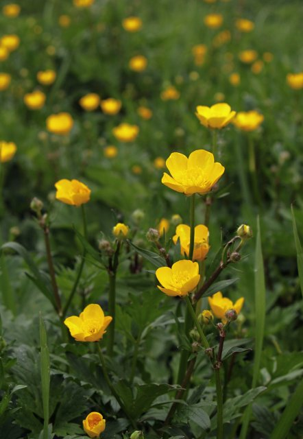 http://commons.wikimedia.org/wiki/File:Ranunculus_repens_LC0036.jpg