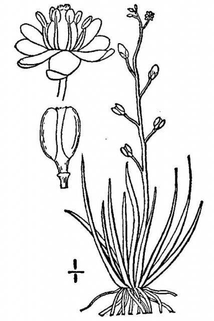 http://plants.usda.gov/java/largeImage?imageID=suaq_001_avd.tif