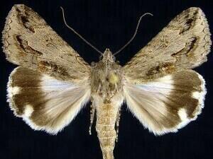 http://mothphotographersgroup.msstate.edu/species.php?hodges=8607