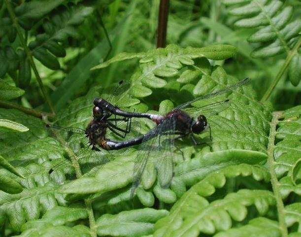 http://animaldiversity.ummz.umich.edu/site/resources/phil_myers/odonata/Libellulidae_F-Le/mating_dragonflies.jpg/medium.jpg