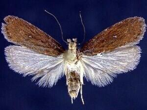 http://mothphotographersgroup.msstate.edu/species.php?hodges=0876