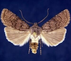 http://mothphotographersgroup.msstate.edu/species.php?hodges=10845