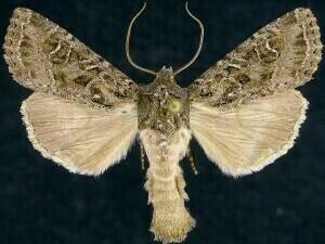 http://mothphotographersgroup.msstate.edu/species.php?hodges=9382