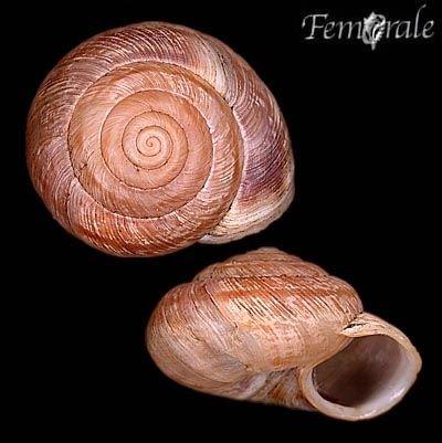 http://www.femorale.com/shellphotos/detail.asp?species=Oreohelix%20strigosa%20(Gould,%201846)