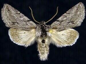 http://mothphotographersgroup.msstate.edu/species.php?hodges=10031