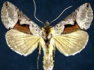 http://mothphotographersgroup.msstate.edu/species.php?hodges=8923