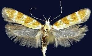 http://mothphotographersgroup.msstate.edu/species.php?hodges=2112