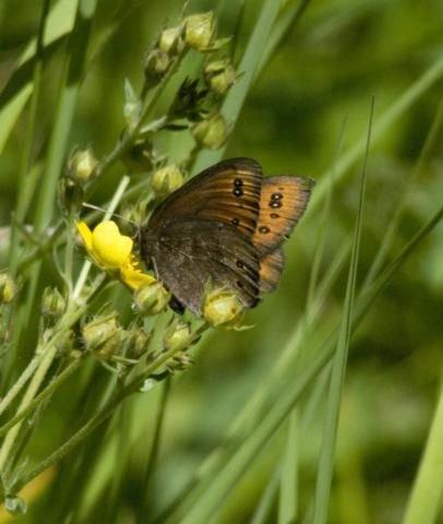 http://animaldiversity.ummz.umich.edu/site/resources/phil_myers/lepidoptera/Nymphalidae_A-E/Erebia9038.jpg/medium.jpg