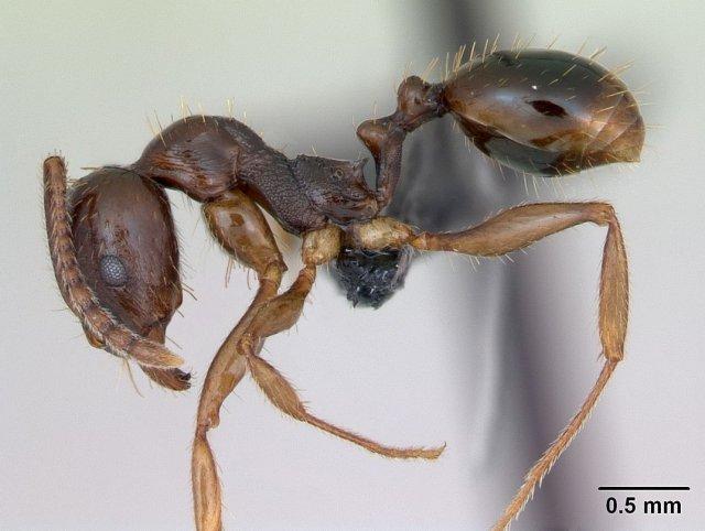 http://www.antweb.org/description.do?genus=aphaenogaster&name=subterranea&rank=species