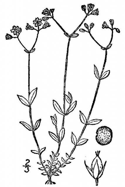 http://plants.usda.gov/java/largeImage?imageID=alcr11_001_avd.tif