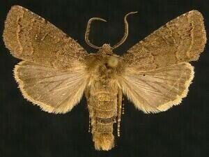 http://mothphotographersgroup.msstate.edu/species.php?hodges=10552