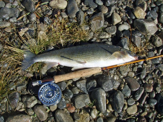 http://commons.wikimedia.org/wiki/File:MountainWhitefish2009.jpg