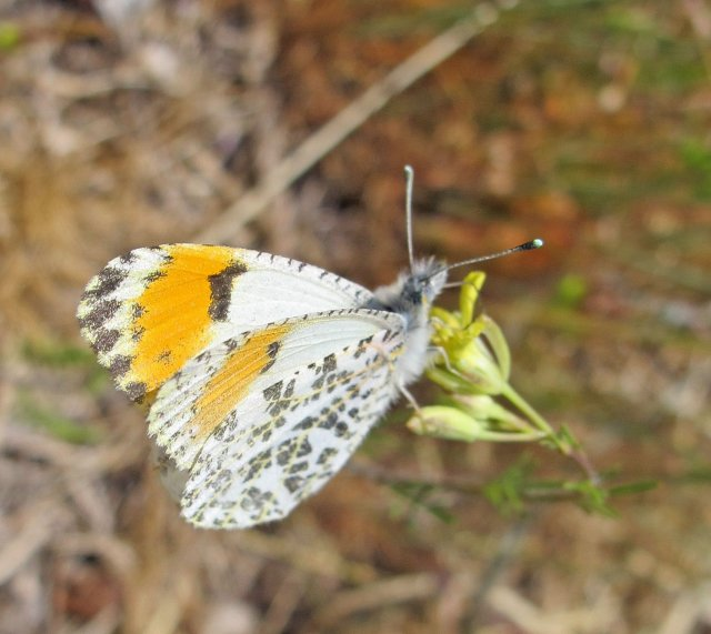 http://www.flickr.com/photos/zonotrichia/8569985135/