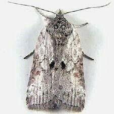 http://mothphotographersgroup.msstate.edu/species.php?hodges=8975