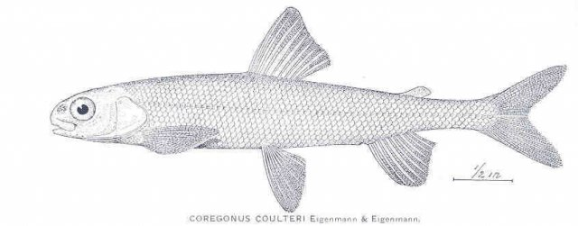 http://content.lib.washington.edu/cgi-bin/getimage.exe?CISOROOT=/fishimages&CISOPTR=34119&DMWIDTH=10000&DMHEIGHT=10000