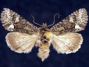 http://mothphotographersgroup.msstate.edu/species.php?hodges=10408