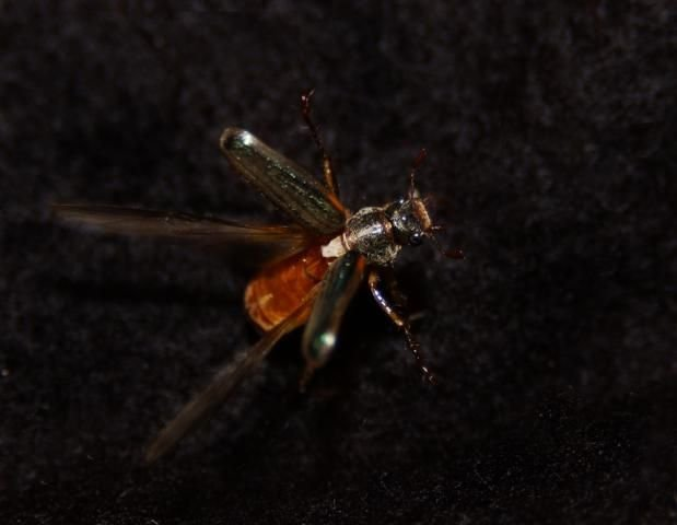 http://animaldiversity.ummz.umich.edu/site/resources/phil_myers/coleoptera/Scarabaeidae/Dichelonyx_albicollis.jpg/medium.jpg