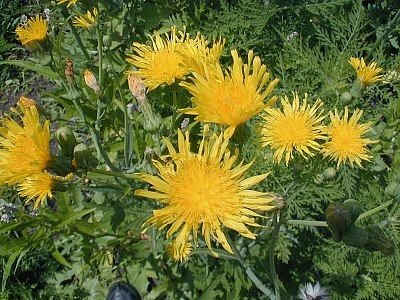 http://www.illinoiswildflowers.info/weeds/plants/per_sowthistle.htm