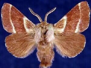 http://mothphotographersgroup.msstate.edu/species.php?hodges=7702