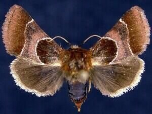 http://mothphotographersgroup.msstate.edu/species.php?hodges=11128